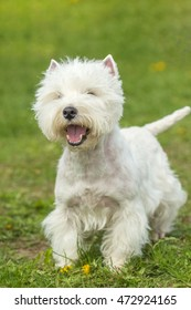 Cute West Highland White Terrier dog playing on the green grass