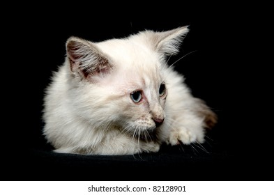 Cute white baby cat laying down on black background