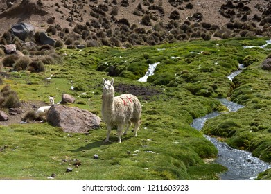 Cute white baby lama close to the river with its mother