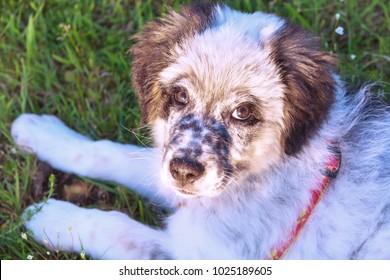 Cute white and black bulgarian shepherd dog puppy in the grass closeup portrait