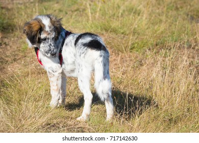 Cute white and black dog puppy with red collar in yellow grass looking at his tail , copy space