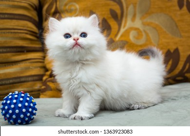 A cute white British long-haired kitten is standing on the couch next to a blue ball
