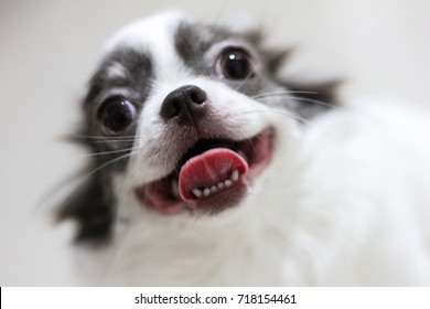 a cute white brown chihuahua is smiling