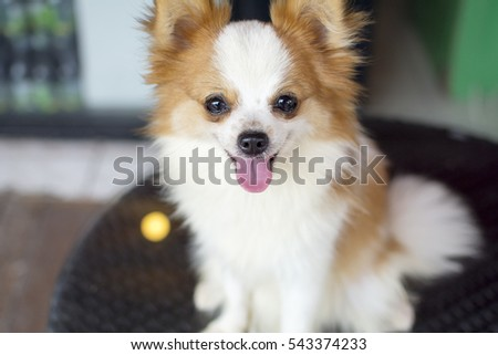 Cute White Brown Crossbreed Chihuahua Pomeranian Stock Photo Edit