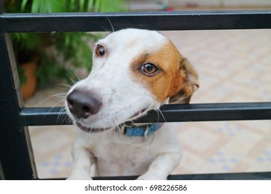 Cute white and brown dog stuck his head through the fence and waiting owner go home. Selective focus.