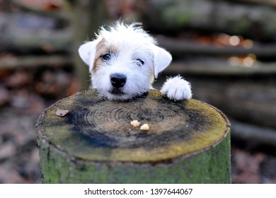 A cute white brown jack russel terrier is looking over a tree trunk. On the tree trunk  is the dog treat.