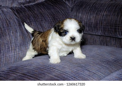 Cute white and brown Shih Tzu Puppy on blue couch