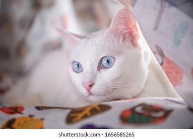 cute white cat blue eyes  mammal animal