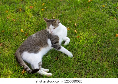 Cute white cat looking sleepy on fresh green grass with morning sunlight on body