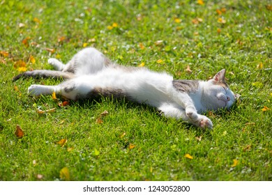Cute white cat lying resting on its back on fresh green grass with morning sunlight on body