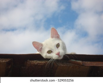 Cute white cat on the roof.