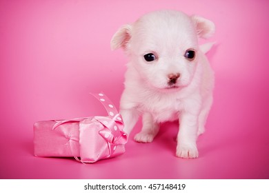 Cute white chihuahua puppy dog on a pink background