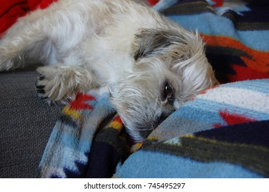 Cute white dog asleep on colourful aztek blanket. Half pug, half pug half shih tzu