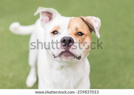 Cute white dog with eye patch grins at the camera