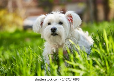 Cute white dog in the grass outdoors