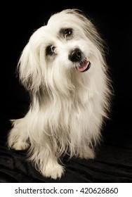 Cute white dog on black background/Dog tilting head