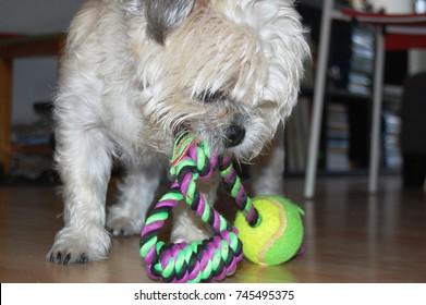 Cute white dog playing with ball on rope. Half pug, half pug half shih tzu