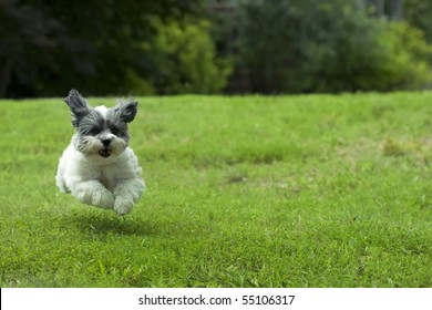 Cute white dog running outside through the yard, looks like she's flying