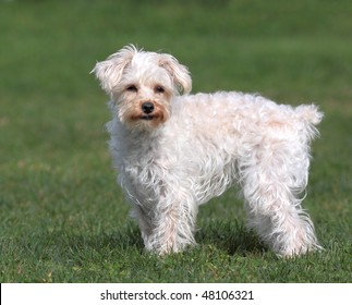 Cute white dog with short stubby tail