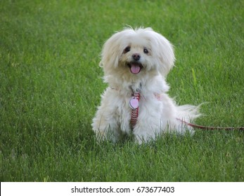 Cute white dog sitting on the grass