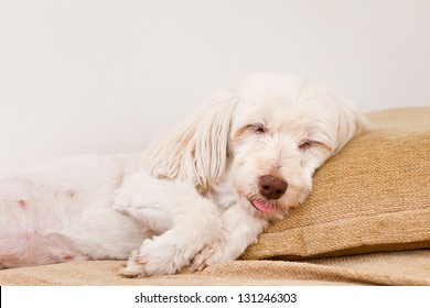 Cute white dog sleeping in the sofa with tongue outside his mouth.