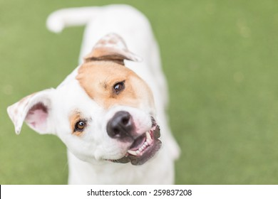 Cute white dog smiles with head tilt