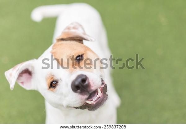 Cute white dog smiles with head tilt