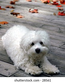 Cute white fluffy dog enjoying the autumn air on the deck!  October 2004