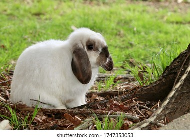 Cute white fluffy Holland Lop bunny rabbit