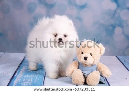 Cute White Fluffy Puppy Pomeranian Spitz Stock Photo Edit Now