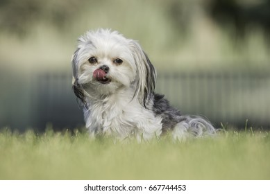 Cute, white and gray small mixed breed dog portrait, summer time outdoors.
