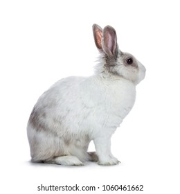 Cute white with grey shorthair bunny sitting side ways  isolated on white background looking to the side