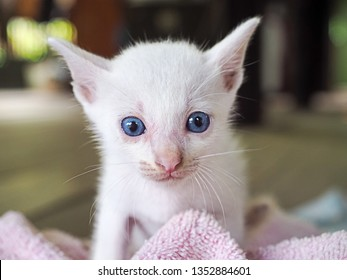 cute white kitten with blue eyes on blurred blackground
