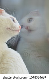 Cute white kitten in front of the window and its reflection