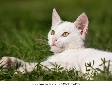 Cute white kitten looking in the grass
