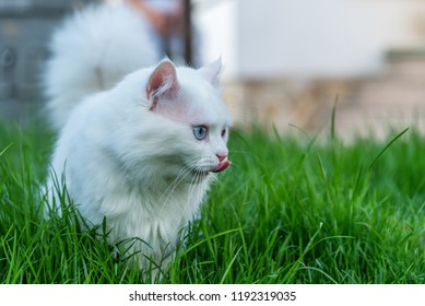 Cute white kitten looking in the grass.