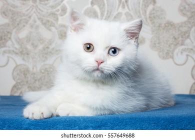 Cute white kitten lying on the table. Cat.