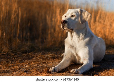 cute white labrador retriever dog puppy lies in front of corn field and enjoys the sunset