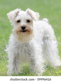 Cute white lap dog staring into camera