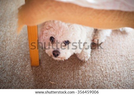 Cute white maltese dog hiding under sofa,  fearful and frightened