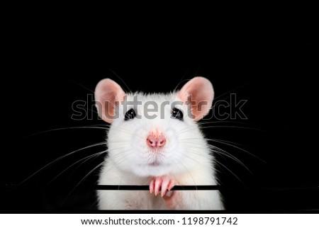 cute-white-pet-rat-portrait-450w-1198791
