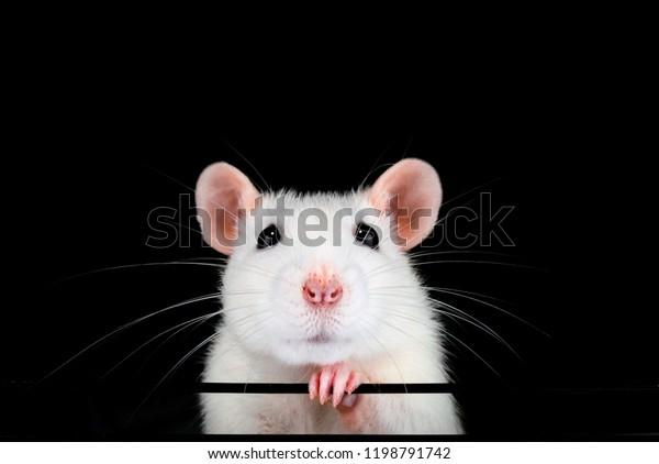 cute-white-pet-rat-portrait-600w-1198791
