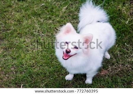 Cute White Pomeranian Dog Happy Smiling Stock Photo Edit Now