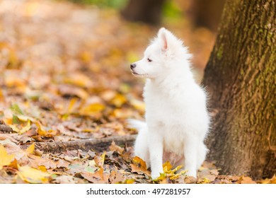 Cute White Pomeranian Spitz Puppy Outdoor Stock Photo Edit Now