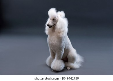 cute white poodle