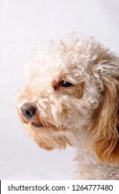 Cute white poodle dog portrait