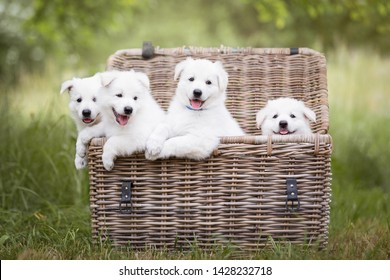 Cute white puppies in a basket. Berger Blanc Suisse puppies in a basket. White shepherd puppies. Basket full of puppies. Cute dogs.