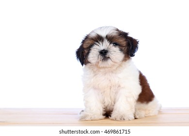 Cute White Puppy White Background Shih Stock Photo Edit Now