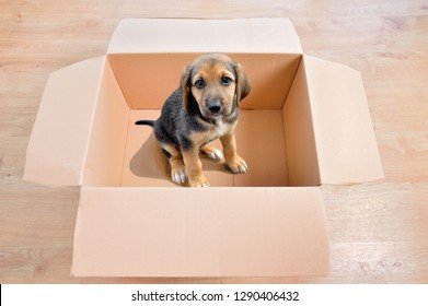 Cute white puppy emerging from a cardboard box at home