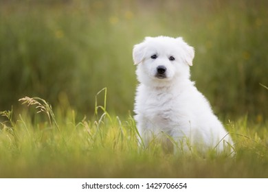 Cute white puppy sitting on the meadow. White shepherd puppy. Berger Blanc Suisse puppy. Cute dogs.